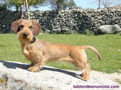 Cachorros de teckel miniatura pelo duro