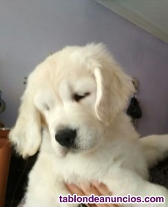 Cachorros golden retriever gran pedigree