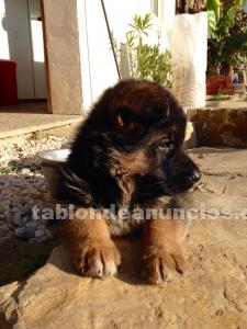Cachorros pastor aleman criador, german shepherd puppies