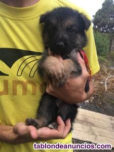 Cachorros pastor alemán pura raza