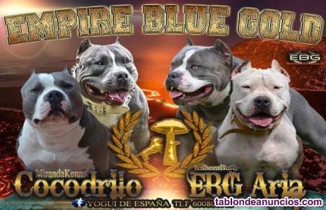 Disponibles 3 últimos cachorros american bully