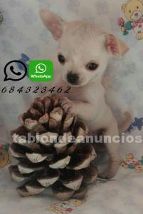 Espectaculares chihuahuas mini