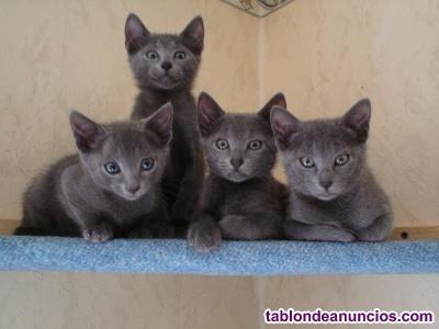 Gatitos nueva camada azul ruso