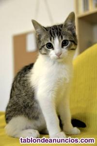 Guapisimo gatito blanquipardo en adopción