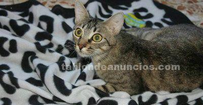 Penny gatita mimosa en adopcion madrid toledo