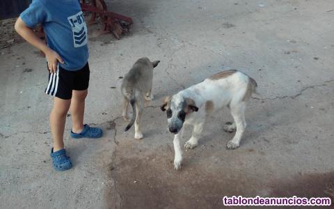 Regalo cachorros de mastin español