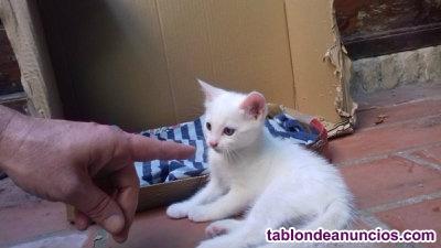 Regalo gatito blanco de 1 mes y medio