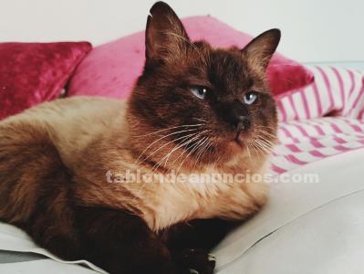 Regalo gato siamés marrón