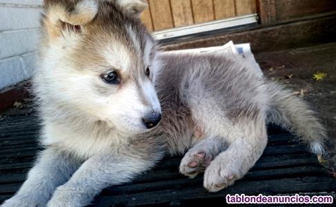 Regalo siberian husky cachorros gratuito buen macho y el