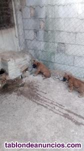 Se vende cachorro de malinois