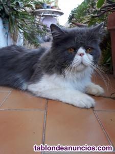Se vende gatito bicolor azul persa/maine coon