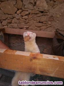 Se vende pareja de hurones. Hembra albina y macho marshall