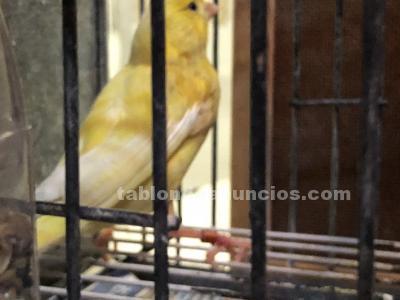 Vendo canarios timbrados españoles