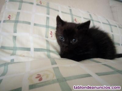 Vendo gatito negro mezcla persa americano con gata común