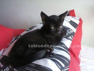 Willy fog gatito en adopción madrid. Nac. Julio/ neg