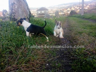 últimos cachorros bullterrier