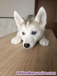 últimos cachorros de husky siberiano
