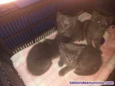 Vendo gatitos azul ruso ¡oportunidad!