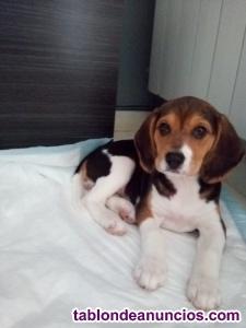 Vendo hembra de beagle