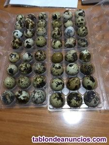 Vendo huevos de codorniz del dia
