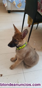 Vendo cachorro pastor belga malinois de 3 meses