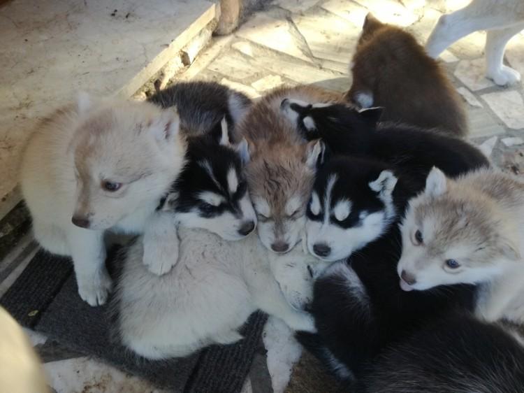 Cachorras de husky con pedigree
