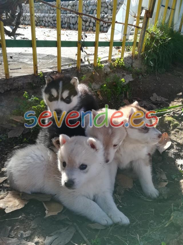 Hembras de husky con pedigree