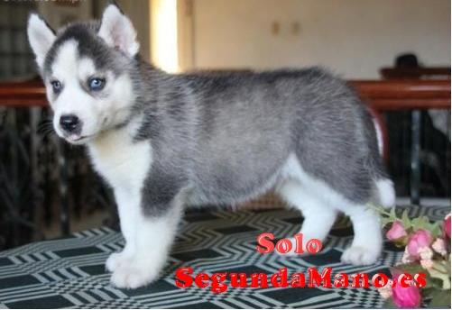 Regalo Cachorros Siberian Husky Para Adopcion