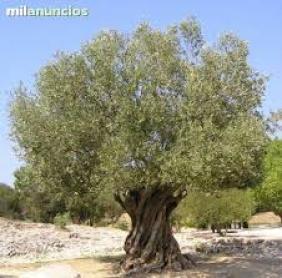 Olivos milenarios en la comunidad valenciana, con antiguedad