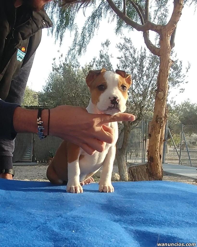 Cachorros American Stanfor - Alicante