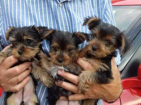 1 Foto Regalo macho y hembra Yorkshire terrier cachorros