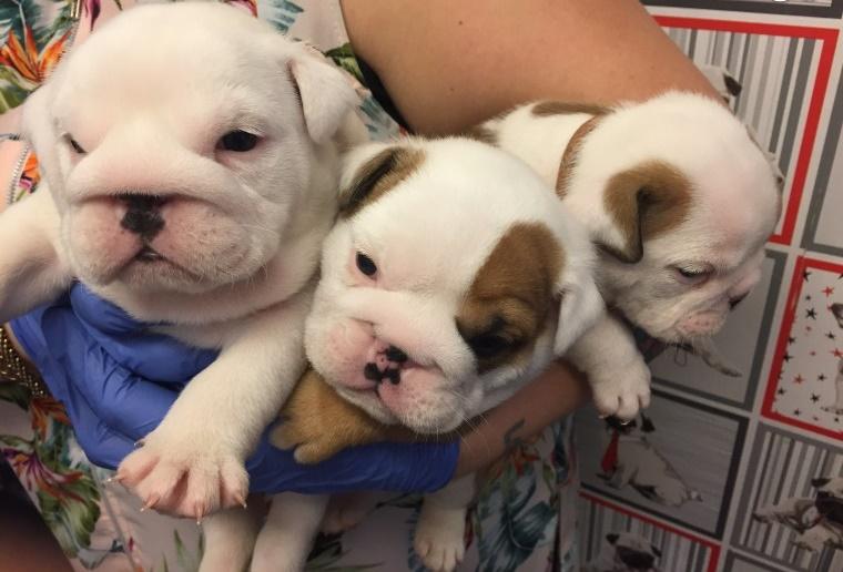 12 semanas de edad, Bulldog inglés registrado