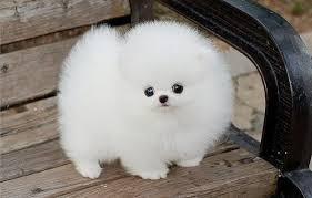 Cachorros de Pomerania vivaces