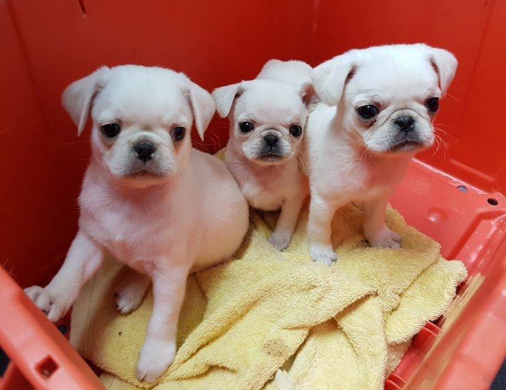 Cachorros malteses para buenos hogares.