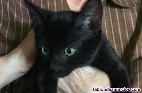Gatita negra en adopción