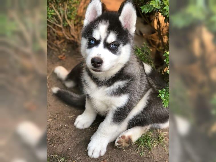 Husky siberiano de ojos azules en venta