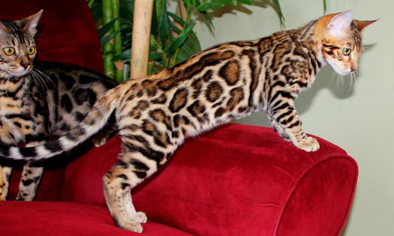 Lindos gatitos de Bengala y Sabana
