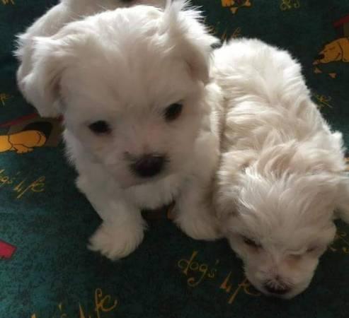 Los cachorros malteses necesitan una nueva familia