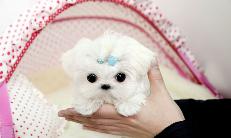 Preciosa cachorrita de bichon maltés,