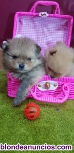 !cachorros de pomerania machos y hembras