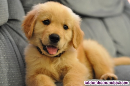 Camada de golden retriever