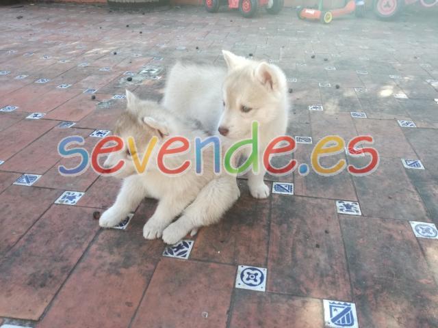 Cachorras husky canela con ojos verdes