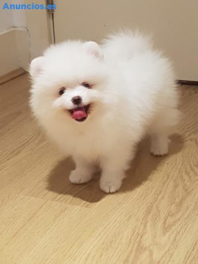 Cachorros De Pomerania Para AdopcióN.