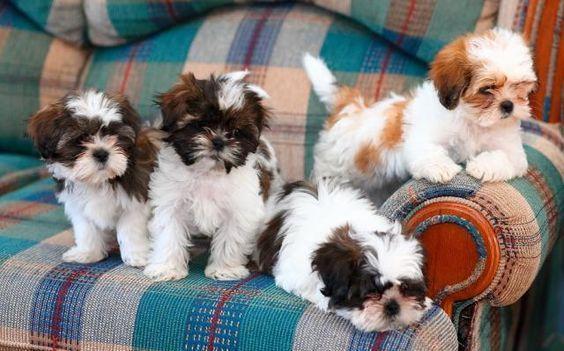 Regalo Casa tren Cachorros Shih Tzu Para Su Adopción