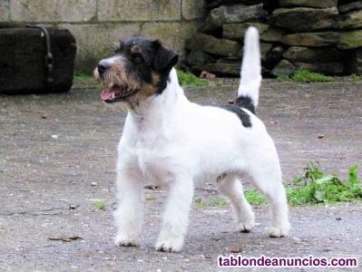Cachorros jack rusell terrier en galicia
