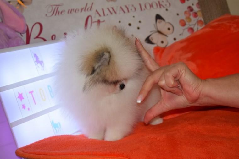 Hermosos cachorros de Pomerania a la venta