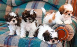 Machos y dos hembras cachorros shih tzu mini toy