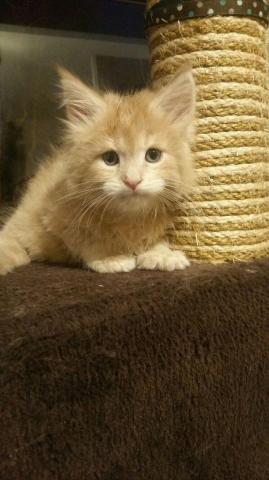 impresionantes maine coon gatitos en venta