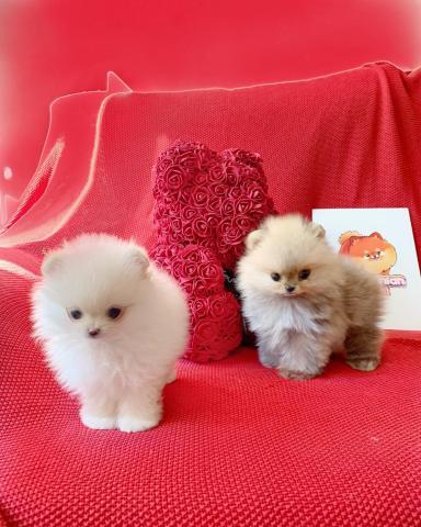 5 magníficos cachorros Pomerania para la adopción. Tiene