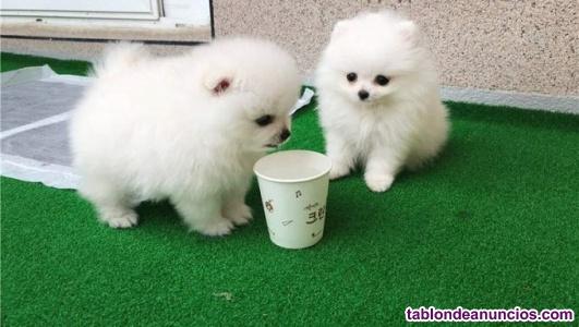 Cachorros de pomerania diminutos